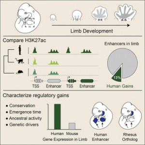 The evolution of lineage-specific regulatory activities in the human embryonic limb